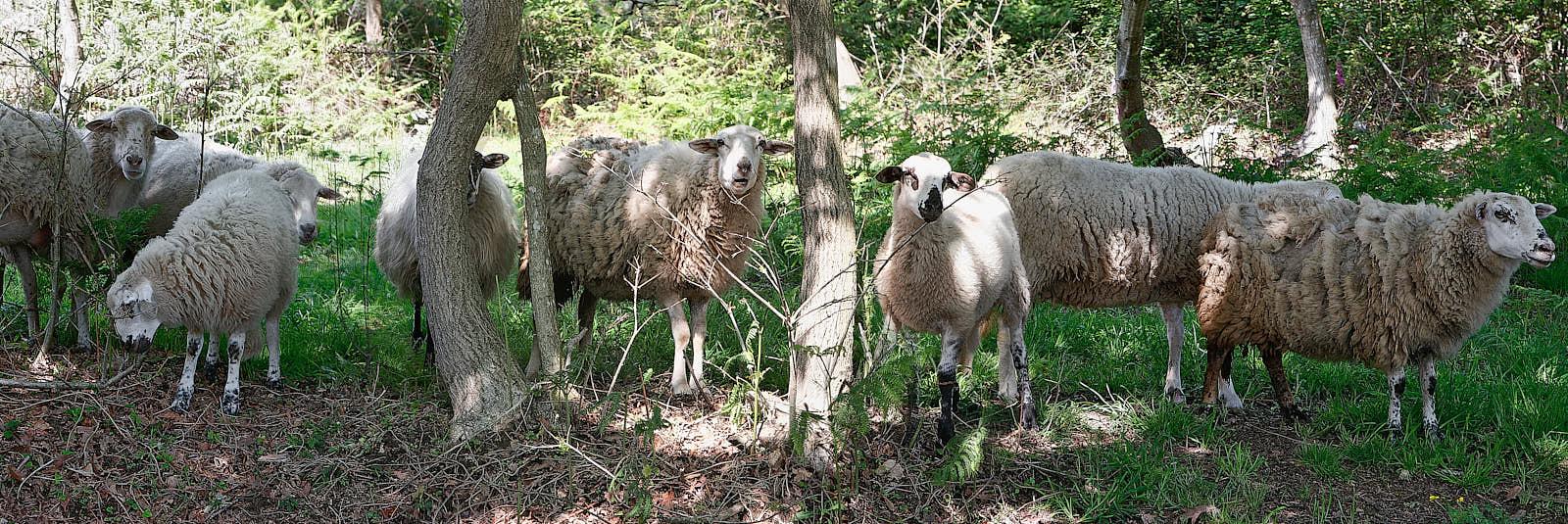 ovejas copia